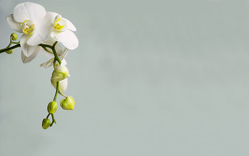 balta orhideja ziedi