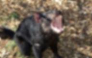 Pixaby Tassie Devil.jpg