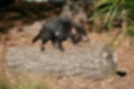 Pixaby Tassie Devil on log.jpg