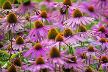 purple-echinacea-flowers-PA2Y8F5.jpg