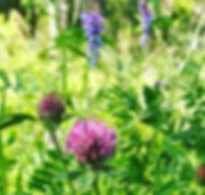 rodklover_krakvicker_atbara_blommor
