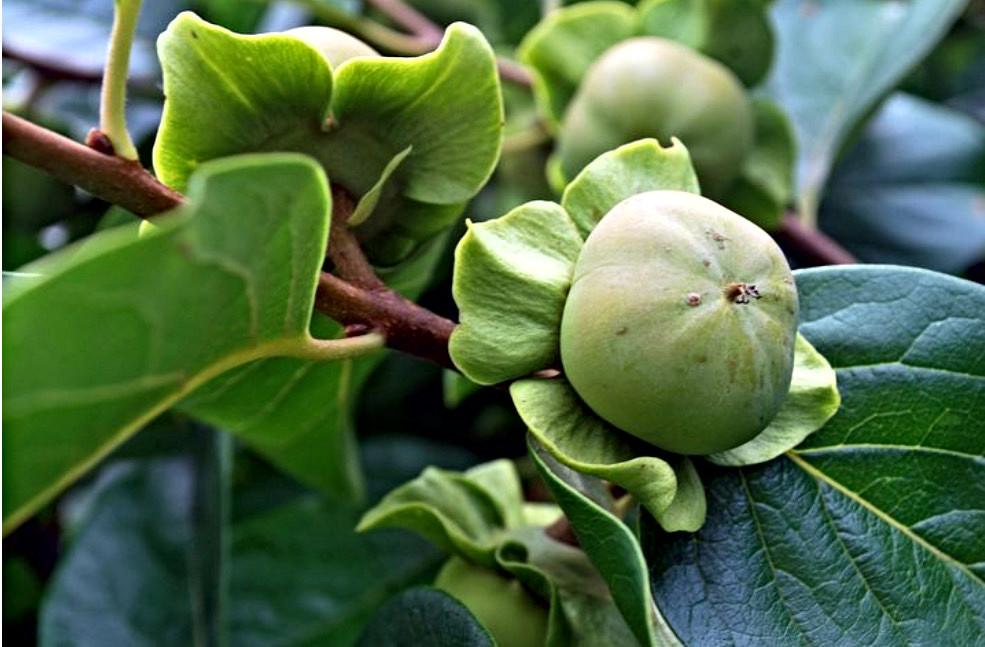 Green astringent persimmon