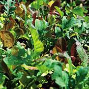 Lettuce - Salad Mix