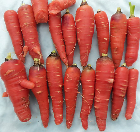 Carrot - Atomic Red
