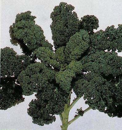 Kale - Curly Green