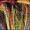 Broomcorn - Red