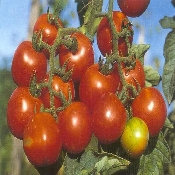 Chadwick's Cherry