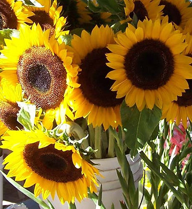 Sunflower - Giant Striped