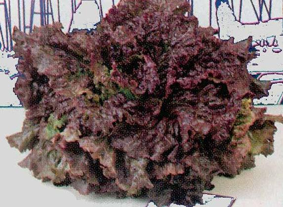 Lettuce - Red Sails