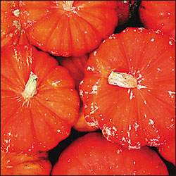 Pumpkin - Rouge Vif d'Etampes