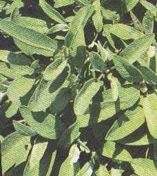 Sage - Garden