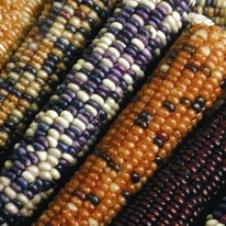 Corn - Wachichu Flint