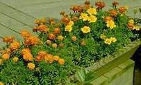 Marigold - French