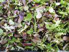 Brassica Mix