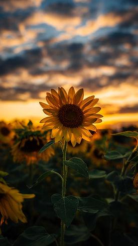 Sunflower_mike-marrah-vKNjdRBqep0-unspla
