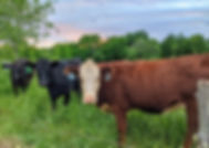 cattle 3.jpg