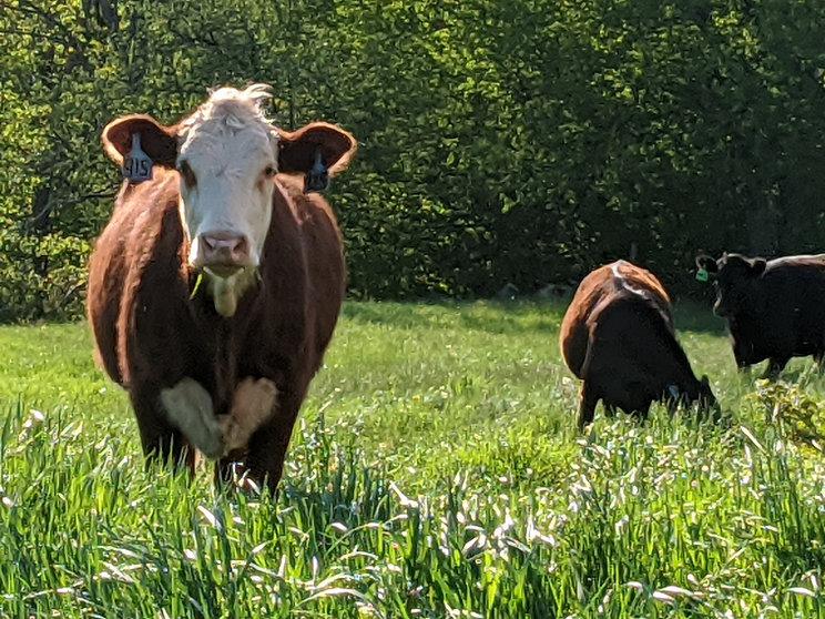beef 1 reduced.jpg