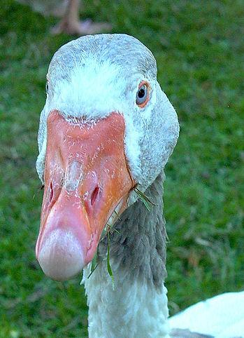 goose-1.jpg