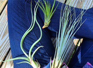 If Air Plants Are Wrong I Don't Want To Be Right!