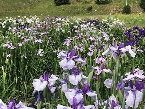 青原の菖蒲の花が綺麗です☆☆☆