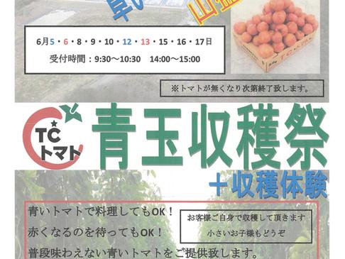TCトマトの「青玉収穫祭」始まります☆