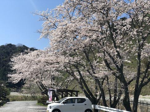 美又温泉国民保養センターの桜🌸🌸🌸