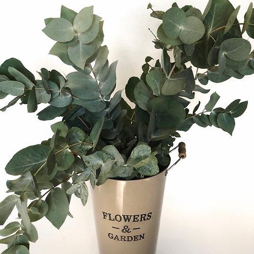 Eukaliptas cineraria - 350 g (plačiais lapais)