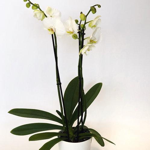 Orchidėja (phalaenopsis)