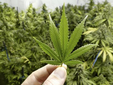 Todos podemos cultivar y consumir mariguana.