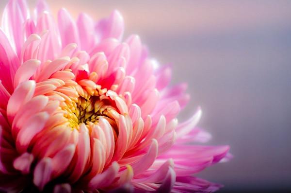 crysanthemum plant
