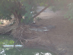 Croc farm crocs at pond 075