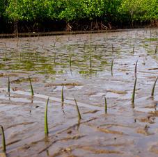 Reforestation mangroves