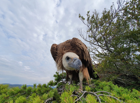 Visite d'un vautour Fauve au belvédère des Hourtous.
