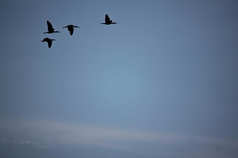 Le vol des Ibis