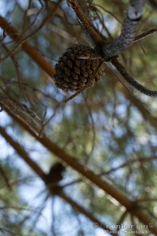 Au grès des pins