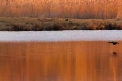 Grand cormorans au couché de soleil