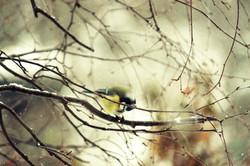 Mésange Bleue au coeur de l'hiver