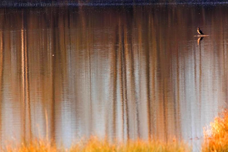 Le reflet du cormoran