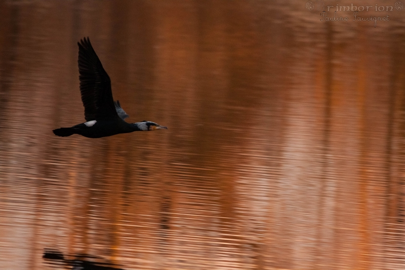 Grand cormorans