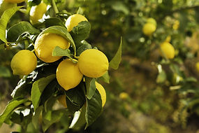 lemon tree 2.jpeg