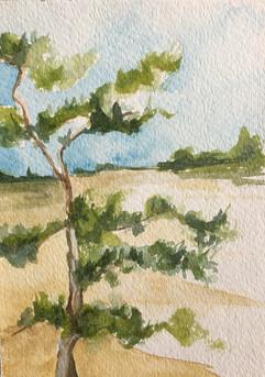 Ocean Pine