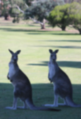 Kangaroos on fairway