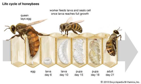 bee brood development