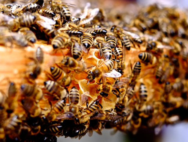 bees on a honey frame