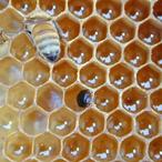 small hive beetles