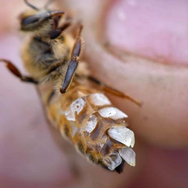 bee with wax flakes