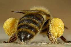 bee pollen pockets