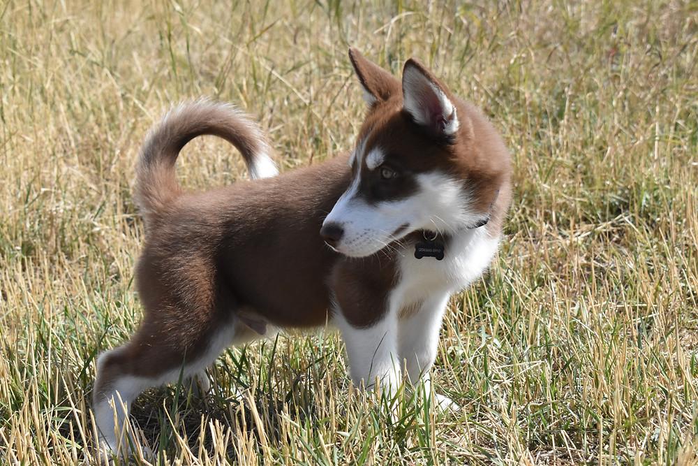 Puppy Bozeman Montana Dog Park