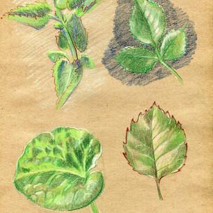Leaf studies, 2017