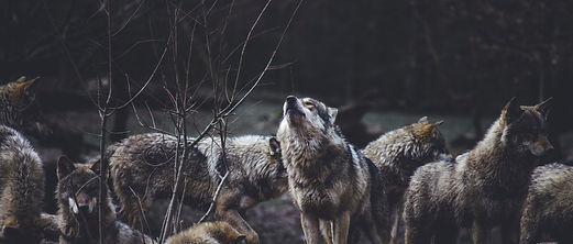 wolf%2525252520pack%2525252520on%2525252